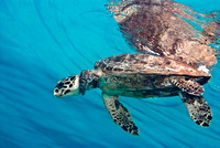 Green Sea Turtle at Surface