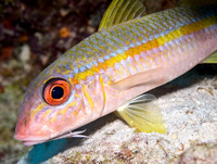 Spotted Goatfish, Active Color Phase