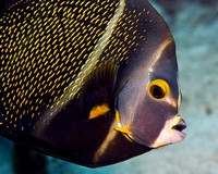 French Angelfish Intermediate