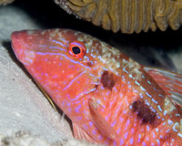 Spotted Goatfish, Inactive Color Phase