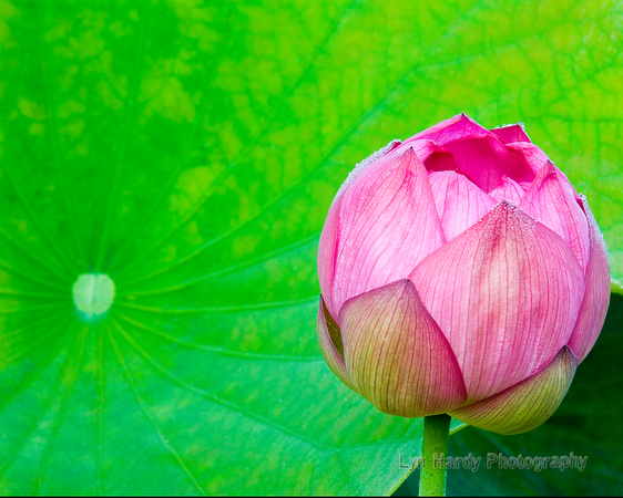 Water Lilly and Leaf