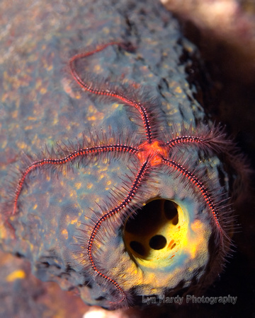 Brittle Star on Sponge